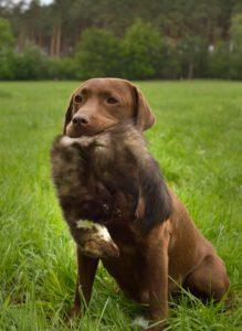 Labrador Gaya hat einen Marder im Fang
